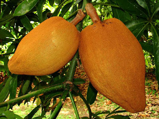 Mamey Sapote Fruit pictures