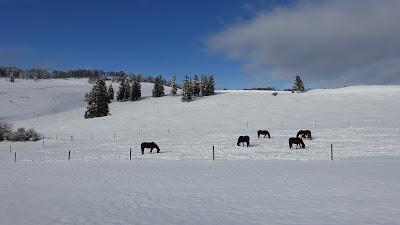 Grasende oder eher schneiende Pferde