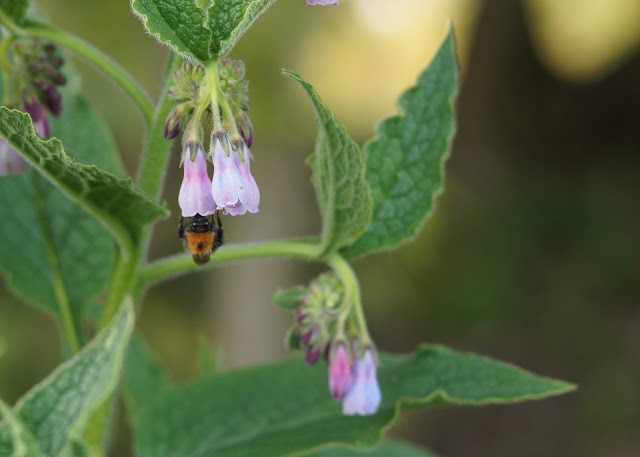 purple comfrey flowers