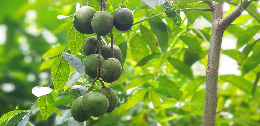 ผลของต้นมะกอกน้ำ