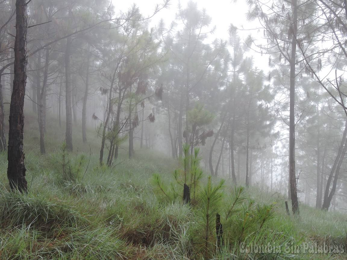 bosque de pinos en el cerro quitasol