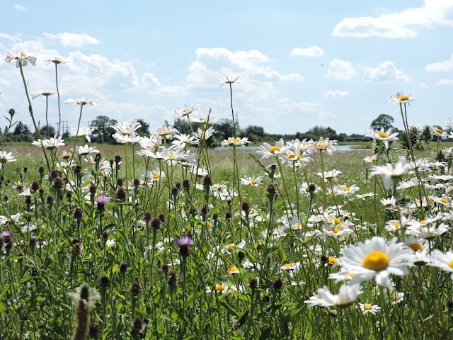 Looking through wildflowers (knapweed and oxeye daisy) to the lake on Heslington East