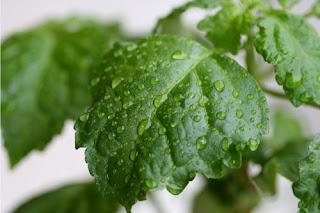 Pogostemon cablin leaves