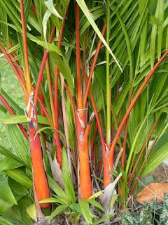 Palmier rouge à lèvres - Cyrtostachys renda