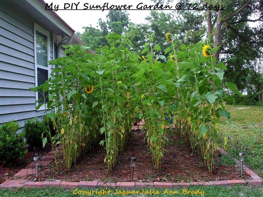My Second DIY Garden of Sunflowers at 72 Days ~ JaguarJulie