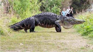 Buaya raksasa di Florida