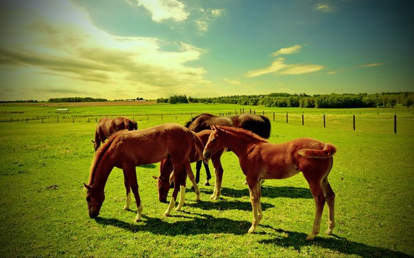 Awesome Pictures of Horses Grazing in Green Field