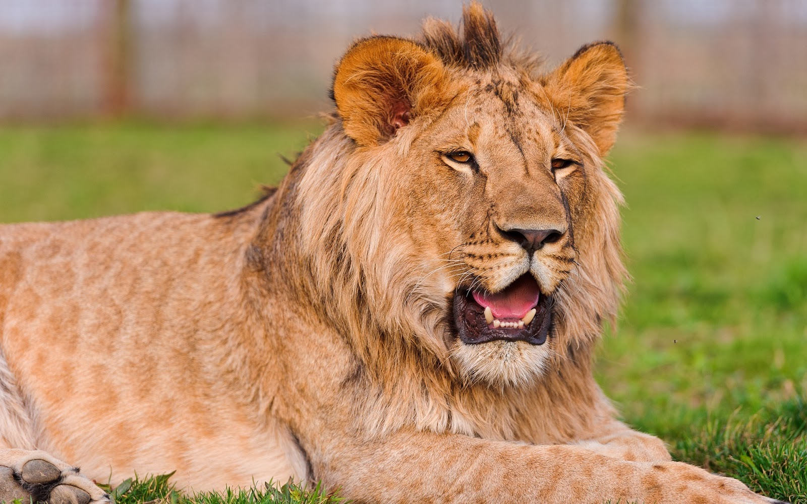 21 Incredible Pics Of African Lion S White Lions Baby