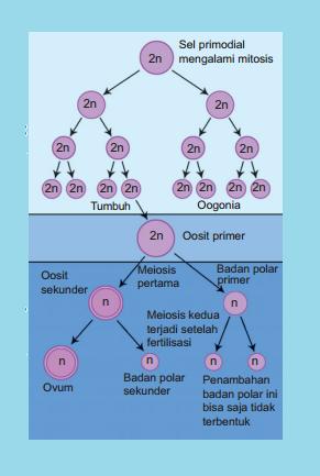 Perpusku saat embrio berusia 6 bulan oosit primer mengalami meiosis i dan berhenti pada fase profase kemudian oosit primer ini berhenti membelah hingga masa ccuart Image collections