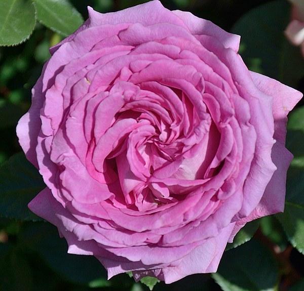 Chartreuse de Parme сорт розы фото