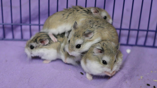 Can hamsters live together ?