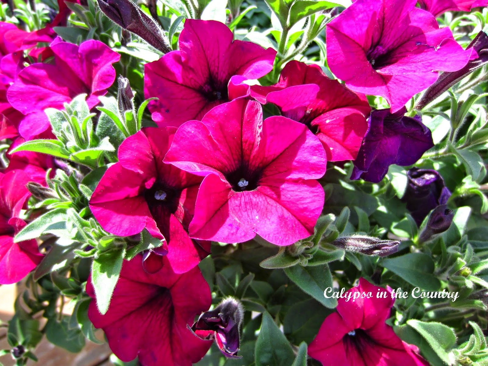 Pink Petunias in Containers
