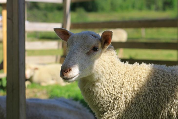 kiviniityn eläinpiha, kotieläinpiha, kotieläin, lammas, sheep,karitsa, lamb