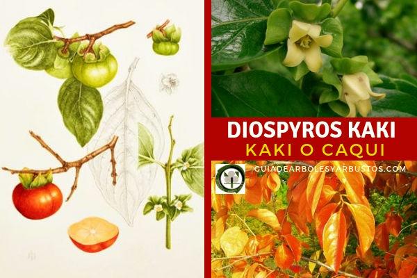El Kaki, género Diospyros, planta procede originalmente de Japón y Corea.