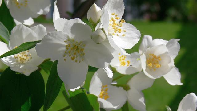 Жасмин – цветок имени Кристина