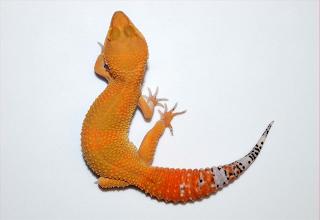 jual gecko murah di surabaya, jual gecko murah di bandung, jual gecko murah meriah, jual gecko murah semarang, jual gecko male, jual gecko murah malang, jual gecko nova, harga gecko normal, jual gecko online, jual leopard gecko online, jual gecko pekanbaru, jual gecko pontianak, jual gecko panjang, jual gecko palembang, jual pasir gecko, jual perlengkapan gecko, jual pictus gecko, harga gecko pasaran, jual leopard gecko black pearl, jual gecko raptor, jual gecko reptilx, jual gecko radar, jual gecko raptor murah, jual gecko rainwater, harga gecko rainwater, harga reptil gecko,