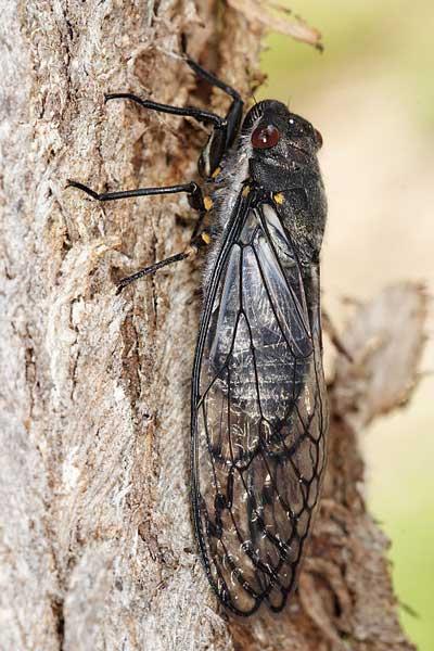 """Sable Cicada"" (จักจั่นสีดำ)"