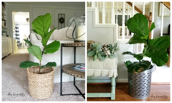 Fiddle leaf figs are fantastic house plants