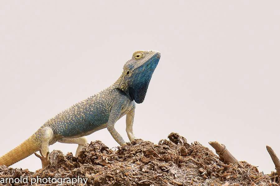 Yellow-spotted Agama