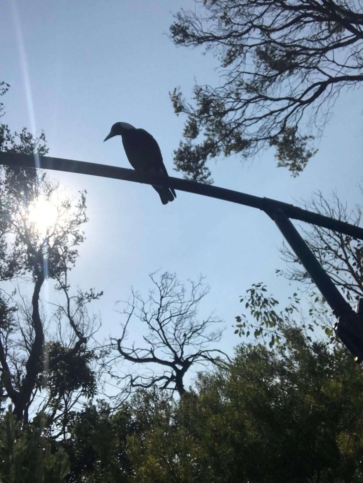 Melbourne magpie bird