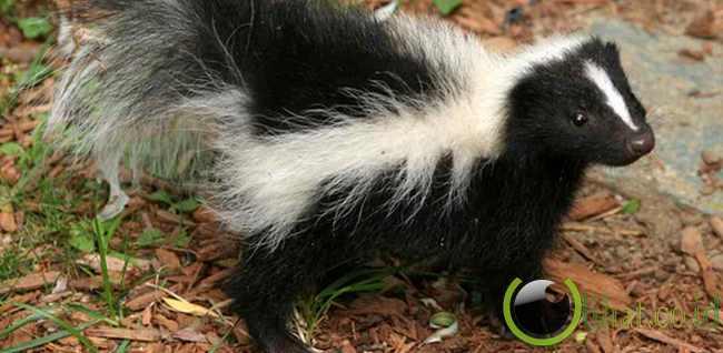Skunk (Sigung)