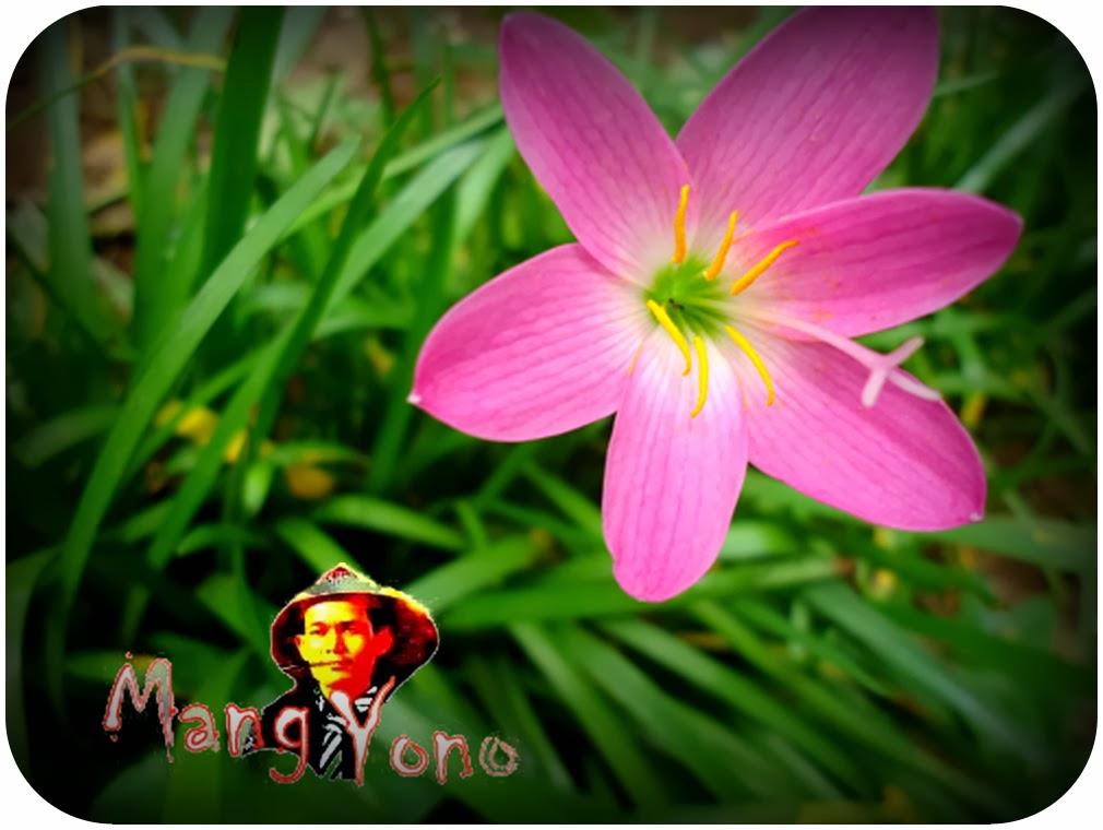 Cara Menanam Bunga Fairy Lily Zepyranthes Atau Bunga Lily Hujan Bunga Bawang Bawangan