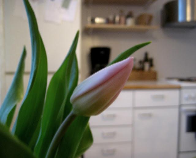 kukka, tulppaani