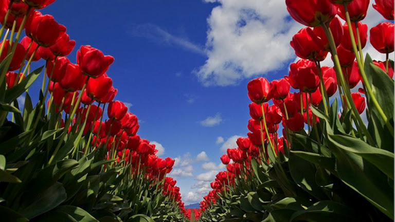Tulips Flowers HD Wallpaper 12