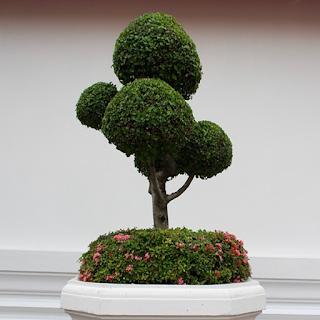 شجرة بونساي 3