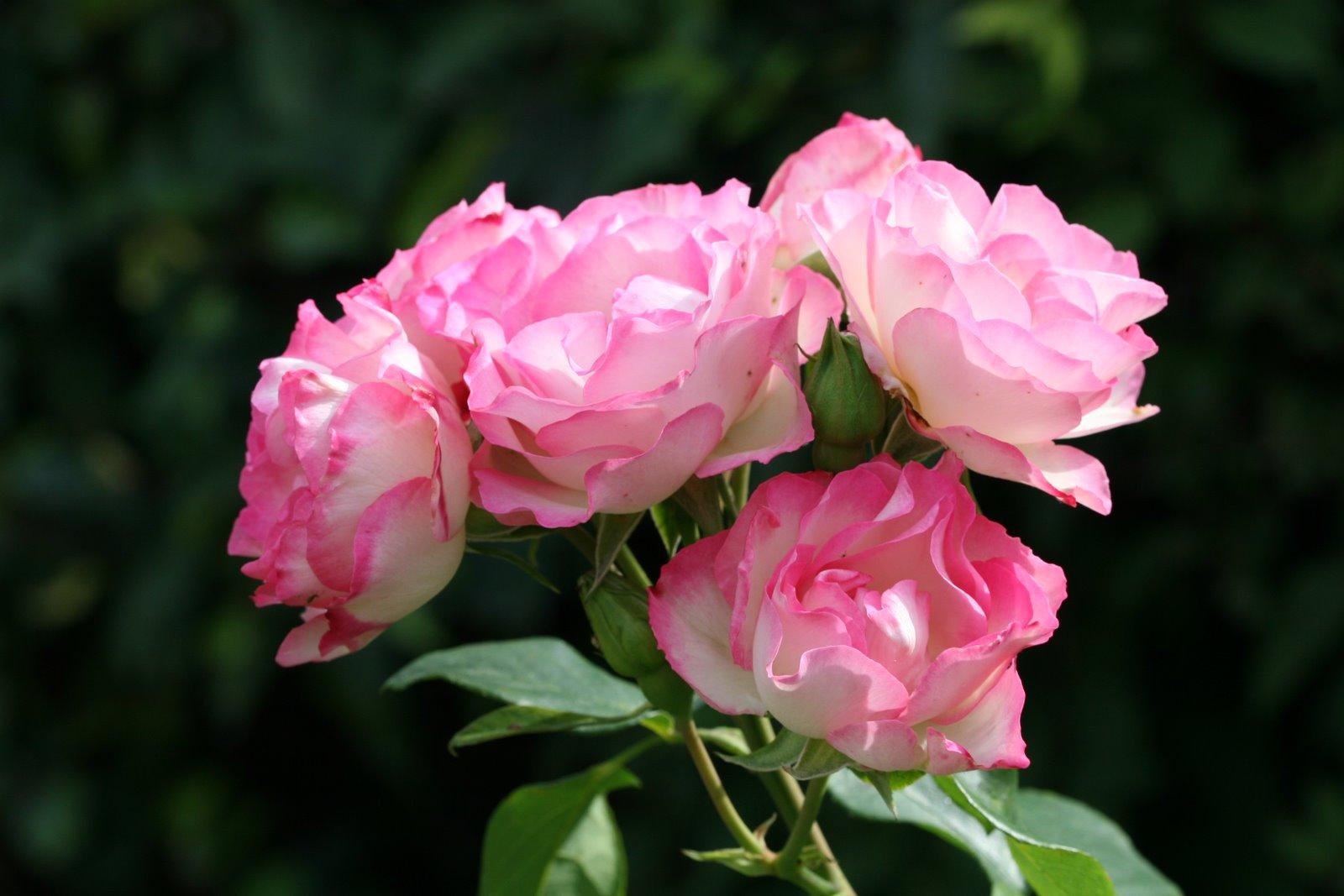 les fleurs rares les roses et la vie. Black Bedroom Furniture Sets. Home Design Ideas