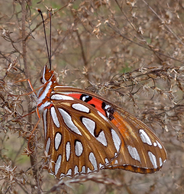 Gulf Fritillary at Long Key Natural Area and Nature Center