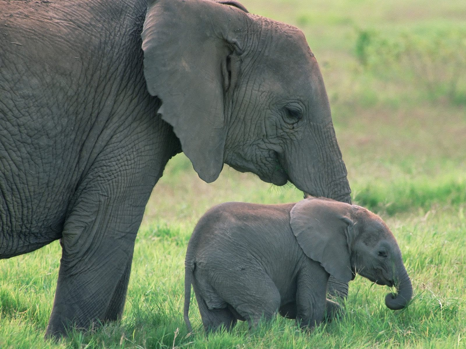 gentle giants elephants today fun animals wiki videos pictures stories. Black Bedroom Furniture Sets. Home Design Ideas