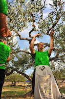 1. Svjetsko prvenstvo u branju maslina - Postira slike otok Brač Online