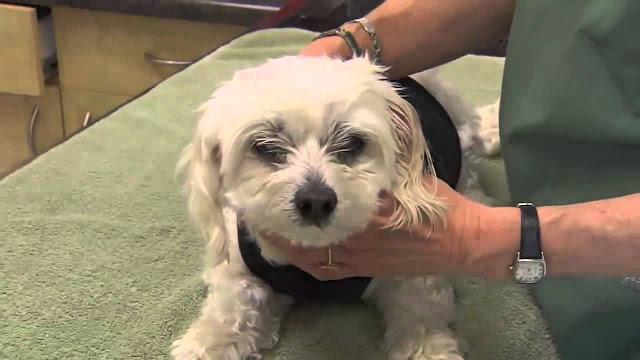 Những lí do khiến chó bị đau mắt và cách điều trị