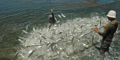 cara budidaya ikan bandeng di tambak pdf,agar cepat besar,bandeng air tawar,makalah,proposal ikan bandeng,prospek ikan bandeng,bandeng intensif,gurame,
