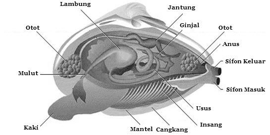 550 Koleksi Gambar Hewan Mollusca Beserta Keterangannya Gratis Terbaru