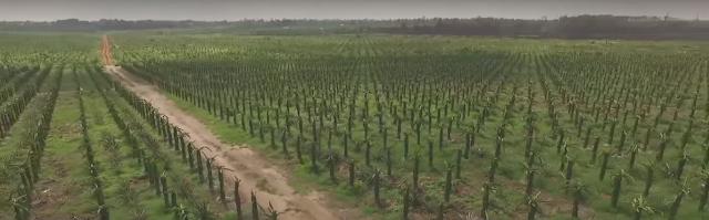 Land growing Dragon fruit