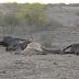 Doença desconhecida causa morte de gado no Agreste e preocupa criadores