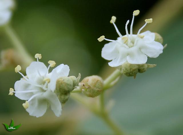 bunga-tunggal