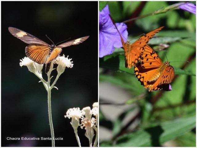 Mariposa libando / Mariposas en cortejo - Marcos L para Chacra Educativa St. Lucía