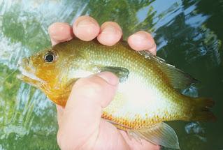 Bluegill, Sunfish, Perch, Texas Freshwater Fly Fishing, TFFF, Texas Fly Fishing, Fly Fishing Texas, Pat Kellner, San Marcos River, San Marcos Fly Fishing, San Marcos Fishing, River Fishing