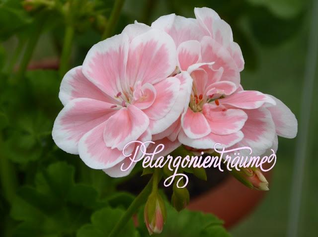 romantische Pelargonie