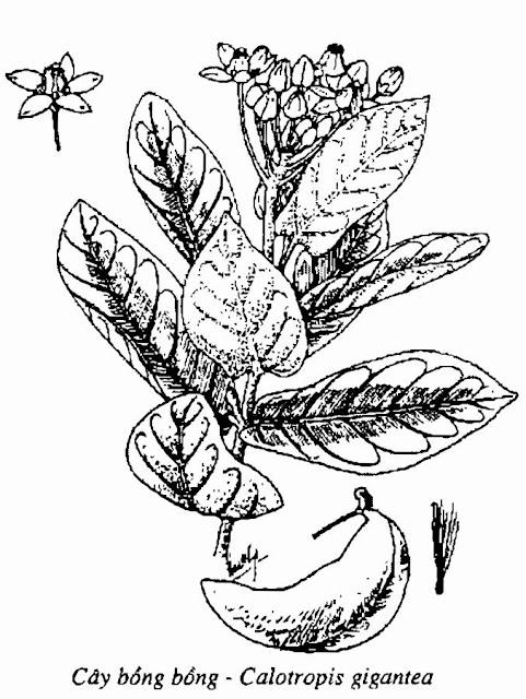Hình vẽ CÂY BỒNG BỒNG - Calotropis gigantea - Nguyên liệu làm thuốc Chữa Ho Hen