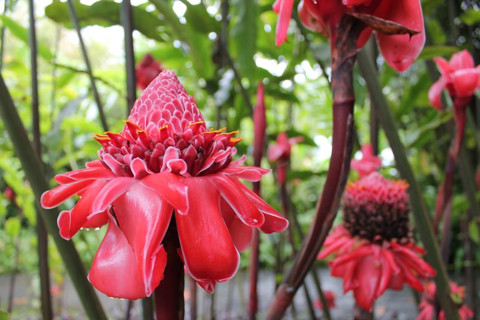jardin de balata martinique fleur