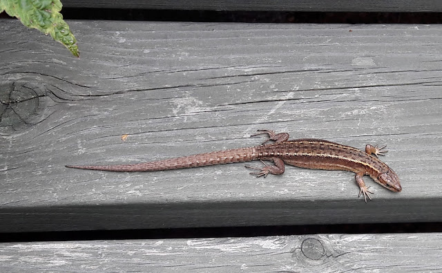 Lizards in Finland