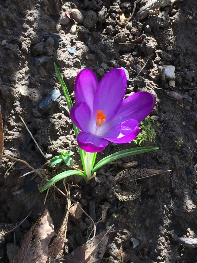 sunlight in stripes on soil with one open purple crocus flower