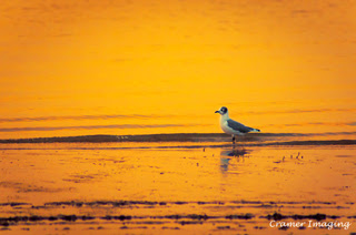 Cramer Imaging's professional quality nature animal photograph of a seagull bird on lake shore at sunset at American Falls Reservoir, Power, Idaho