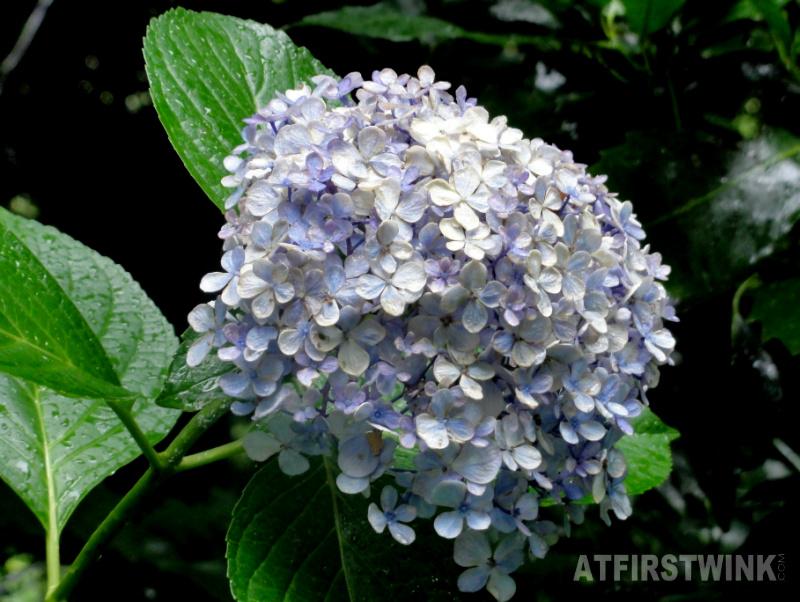 Shinjuku Gyoen 新宿御苑 blue flowers