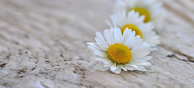 hinh anh hoa cuc trang 2