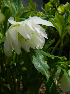Helleborus x hybridus Harvington Double White hellebore  by garden muses-not another Toronto gardening blog